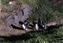 ブルーペンギン、ニュージーランド旅行、ダニーデン、オタゴ半島、ロイヤルアルバトロスセンター